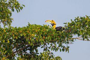 Hornbird