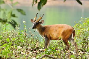 barking-deer-1